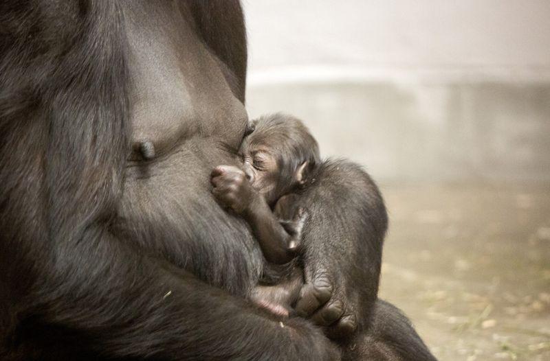 4_gorilla_baby-Whimsie_02