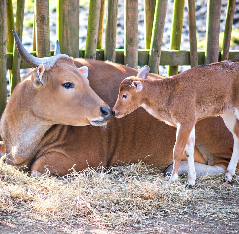 Banteng + Calf - Edinburgh Zoo - Wed 24 Feb 2016 (photographer - Andy Catlin www.andycatlin.com)