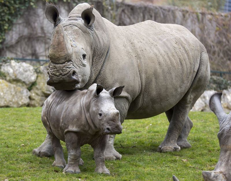 3_Zoo de Beauval's White Rhino calf