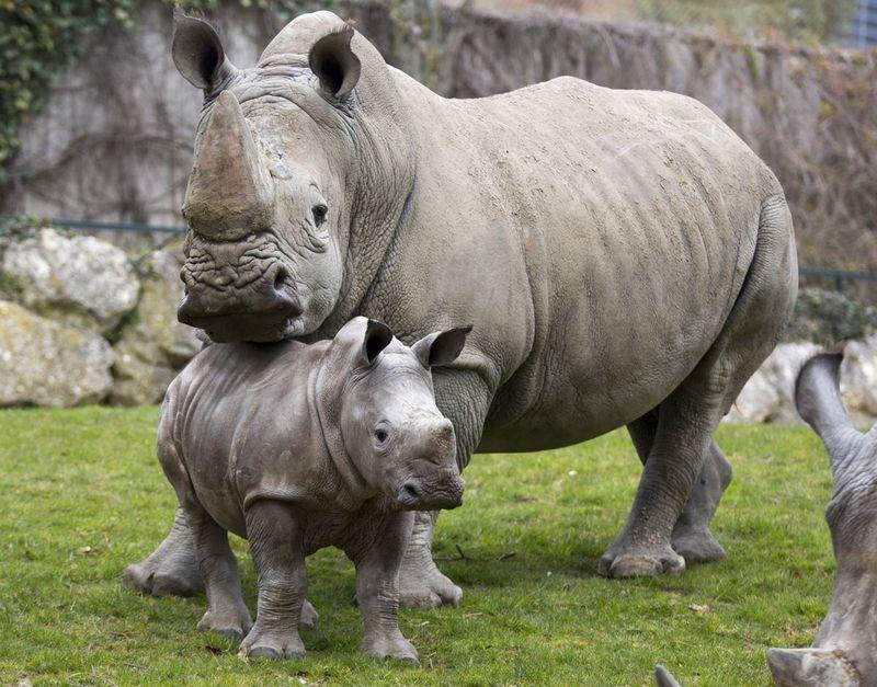 Small (but Strong) Rhino Calf Debuts at Zoo de Beauval - ZooBorns