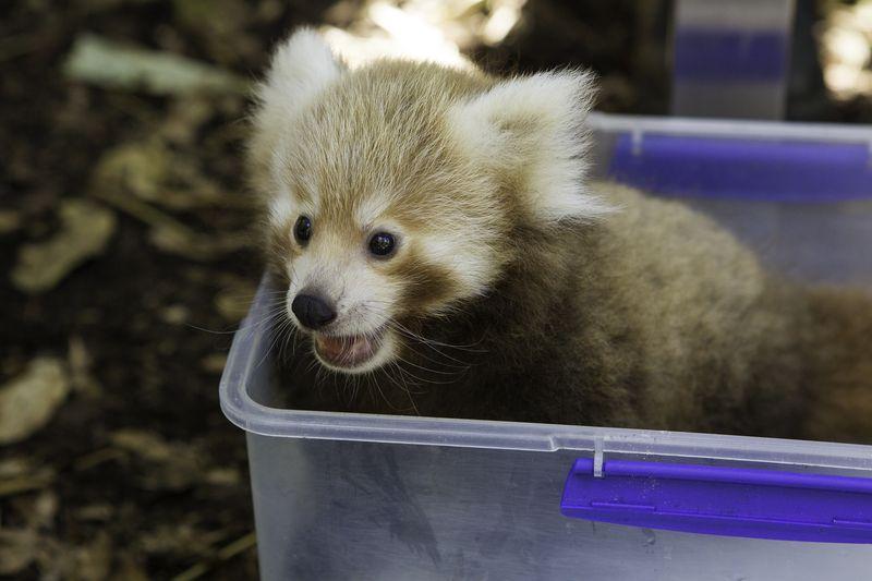 Panda-cubs-9