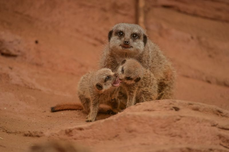 2_Meerkat pups at Chester Zoo (26)