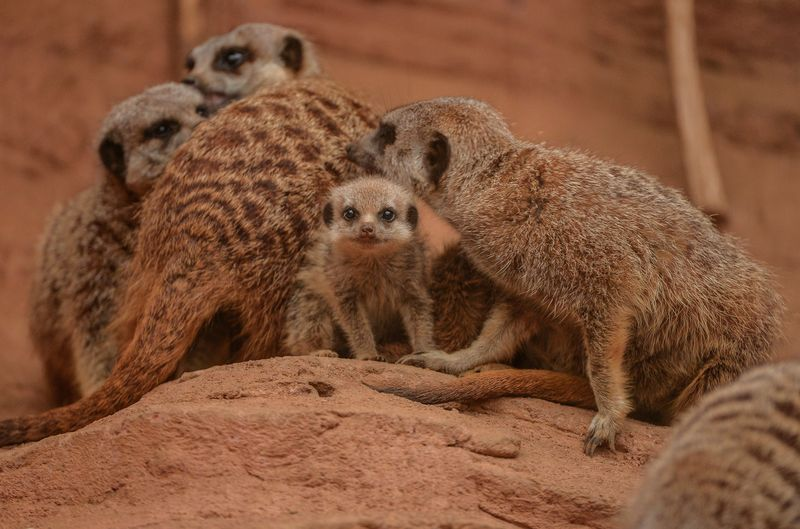 3_Meerkat pups at Chester Zoo (17)