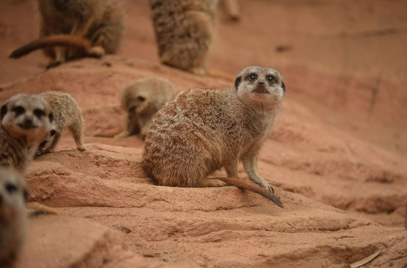 7_Meerkat pups at Chester Zoo (1)