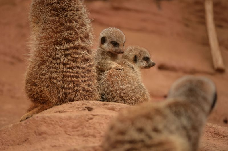 10_Meerkat pups at Chester Zoo (9)