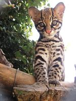 Brazilian Ocelot Births Help Conservation and Research