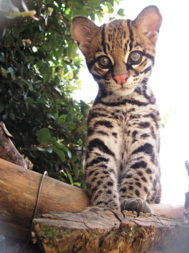 1_revy as kitten - bill swanson Cincinnati Zoo