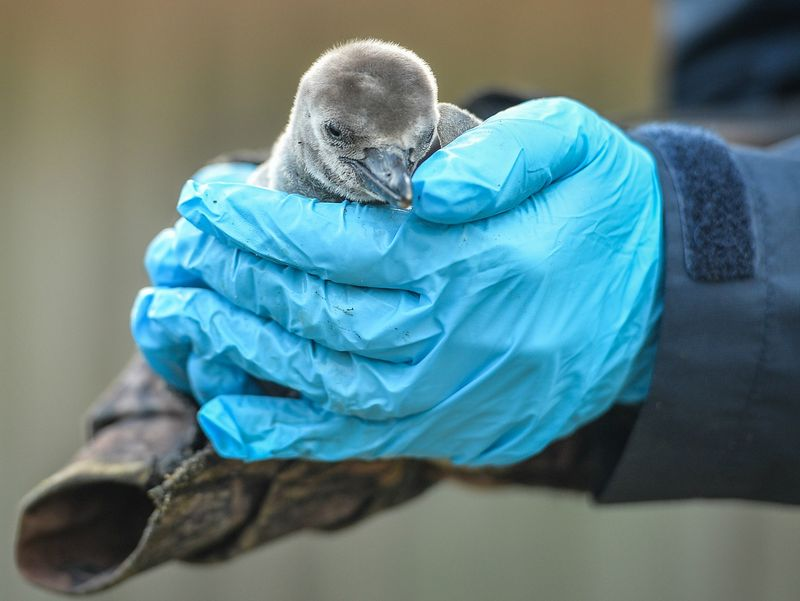 Quaver the Humboldt penguin chick is weighed by keepers at Chester Zoo (3)