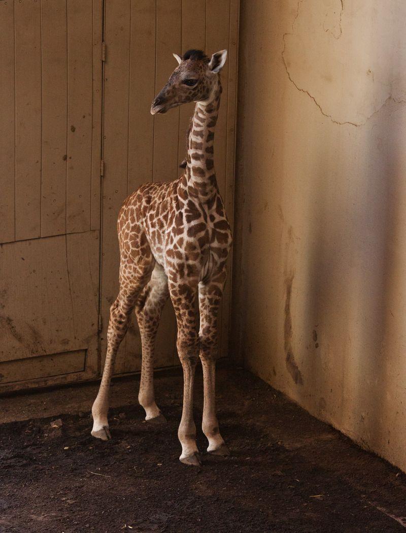 3_SB Zoo Baby Giraffe_Chad 3.30.16_6