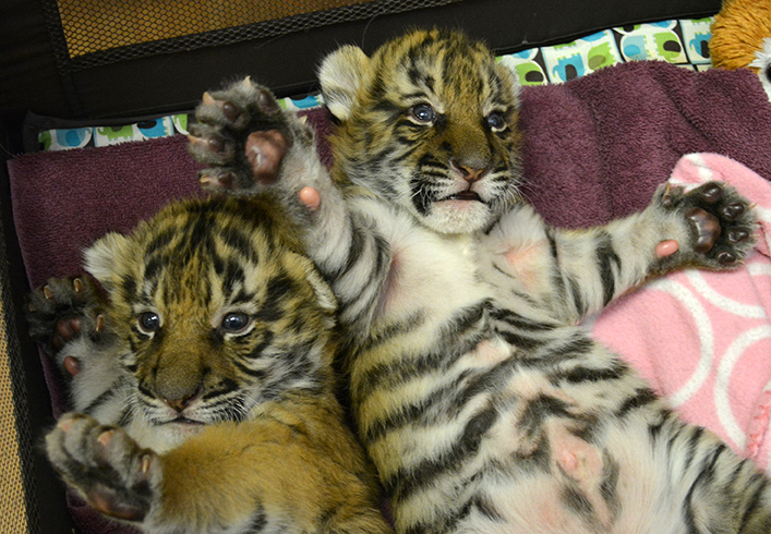 Virginia Zoo Is Naming Their Tiger Cubs - ZooBorns