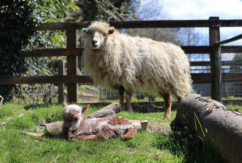 2_Ouessant Lamb Paradise Park Cornwall