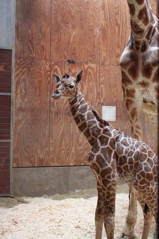 4_SF zoo giraffe calf 3