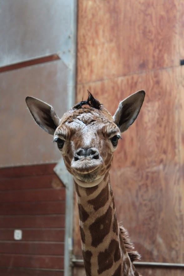 5_SF zoo giraffe calf 1