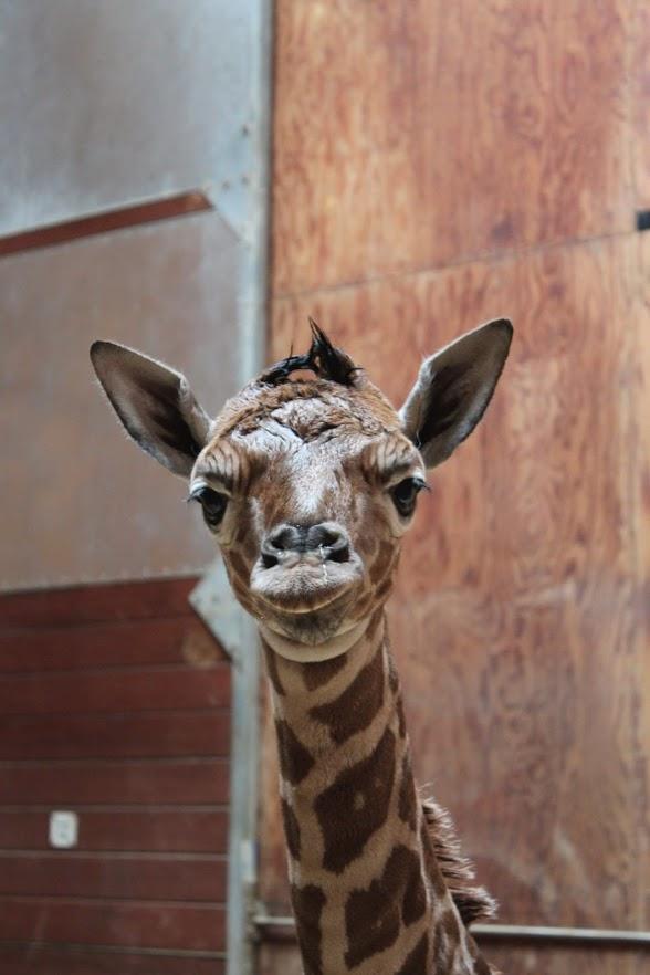 5_SF zoo giraffe calf 1