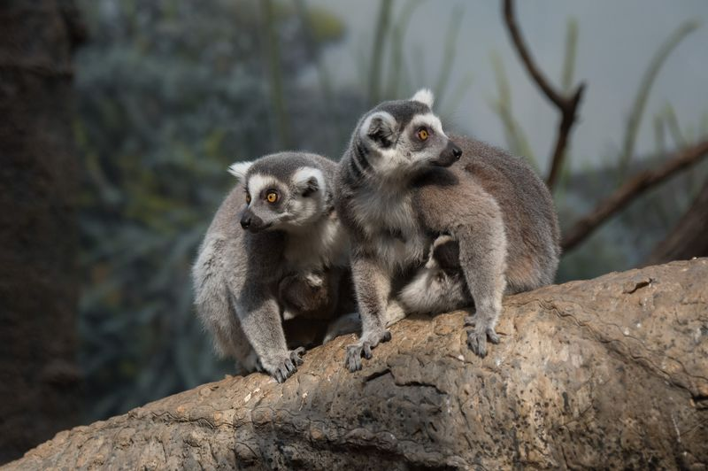 4_Julie Larsen Maher_5631_Ring-tailed Lemur and Baby_MAD_BZ_04 05 16_hr