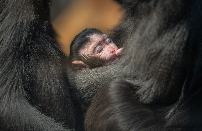 1_A week-old Sulawesi macaque is nursed by mum Lisa (10)