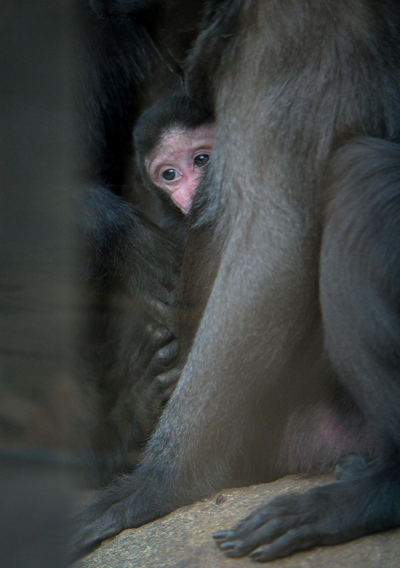 4_A week-old Sulawesi macaque is nursed by mum Lisa (15)