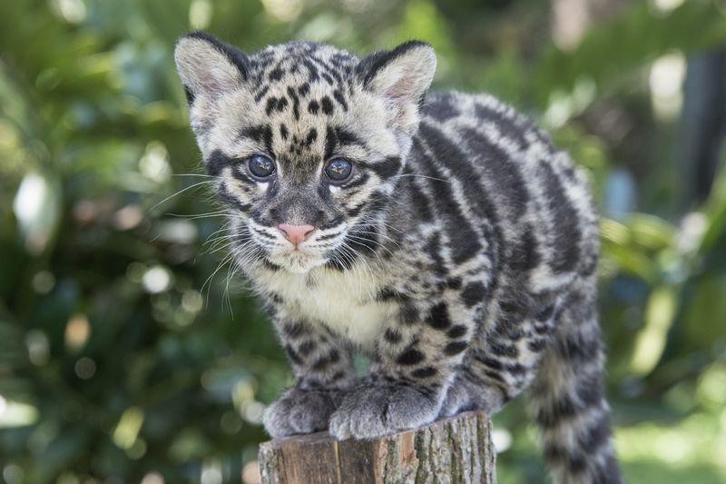 2_TLPZ Clouded leopard cubs (1) by Dave Parkinson
