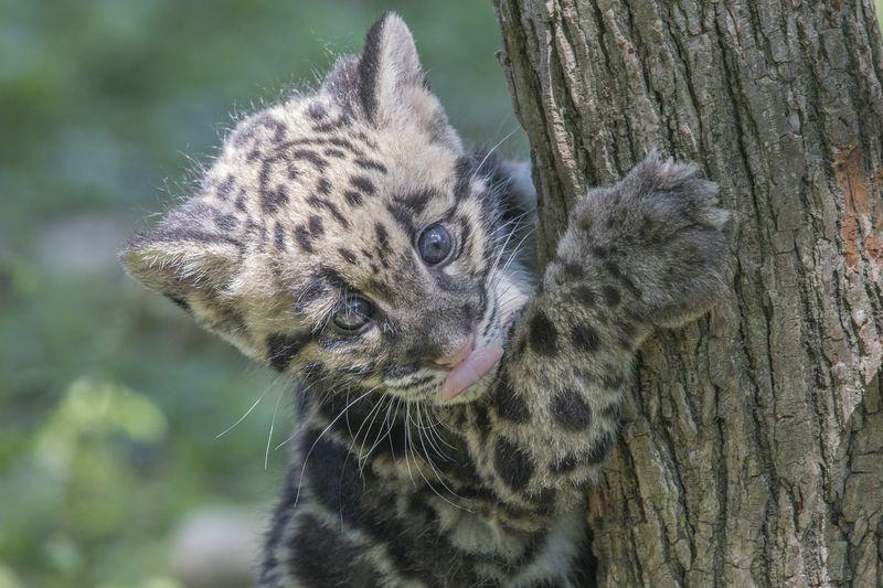 3_TLPZ Clouded leopard cubs (2) by Dave Parkinson
