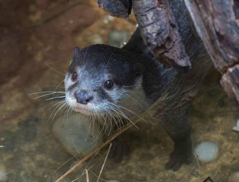 Julie Larsen Maher_5861_Asian Small-clawed Otter_JUN_BZ_04 06 16_hr