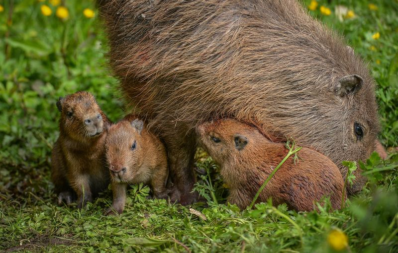 3_Visitors to Chester Zoo were treated to the sight of four baby capybaras being born to mum Lochley. The capybara is the world's largest rodent species.  (29)