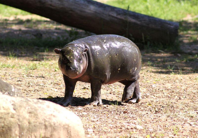 1_ZSI.cria.hipopotamo (4)