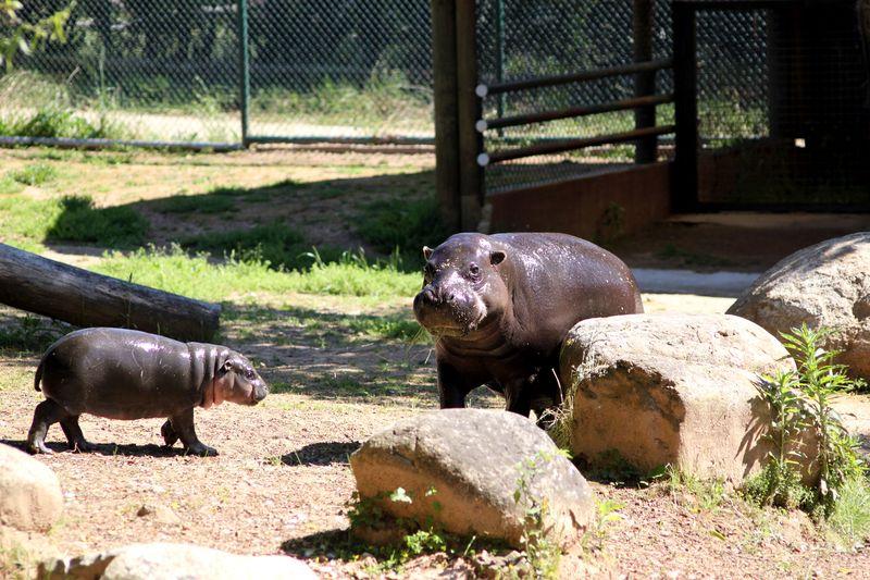 3_ZSI.cria.hipopotamo (5)