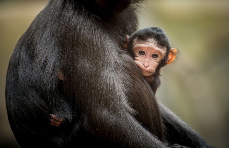 !xxA five-day-old Sulawesi crested macaque clings to first-time mum Camilla at Chester Zoo (4)