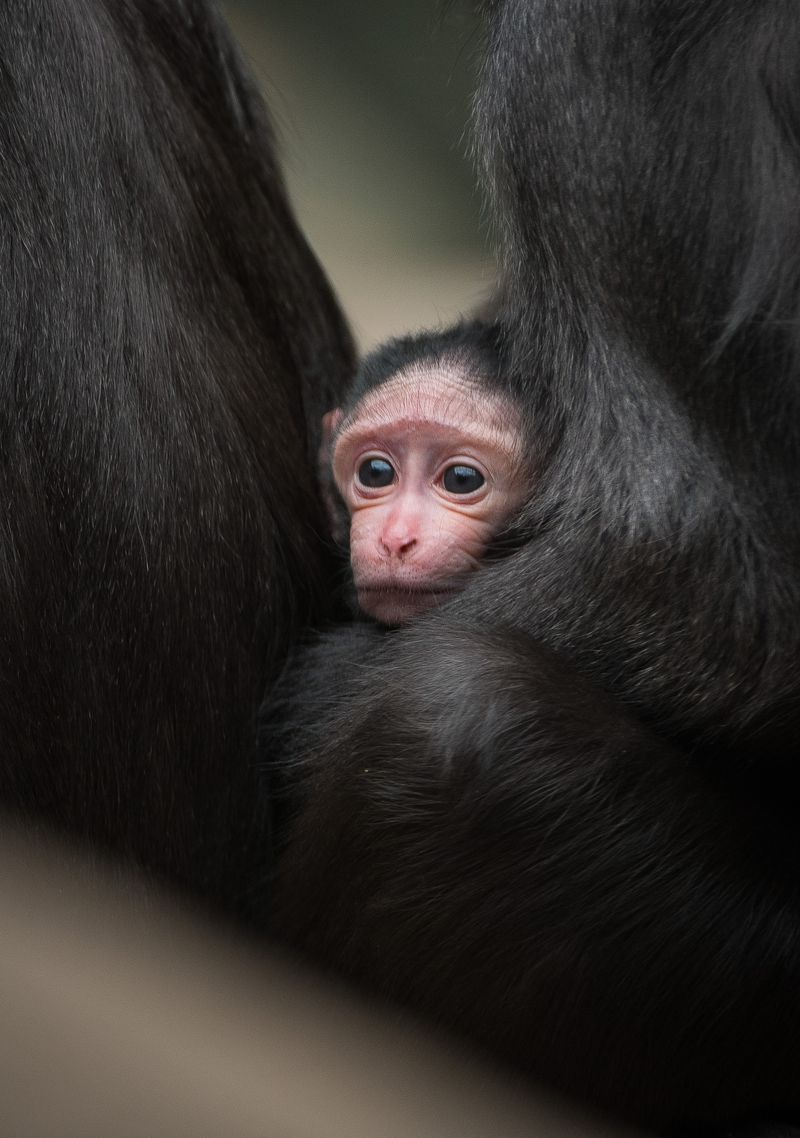A five-day-old Sulawesi crested macaque clings to first-time mum Camilla at Chester Zoo (5)
