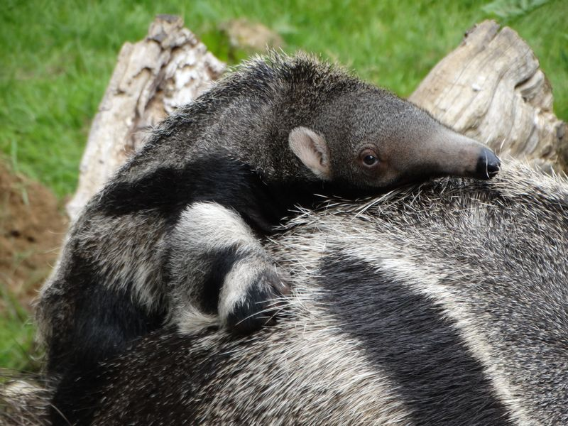 Giant anteater facts and information