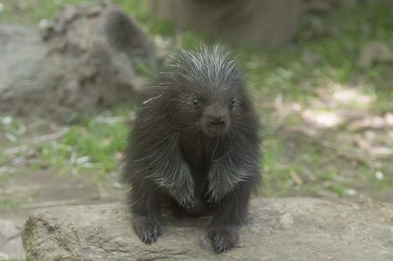 Porcupette Pokes About at Bronx Zoo