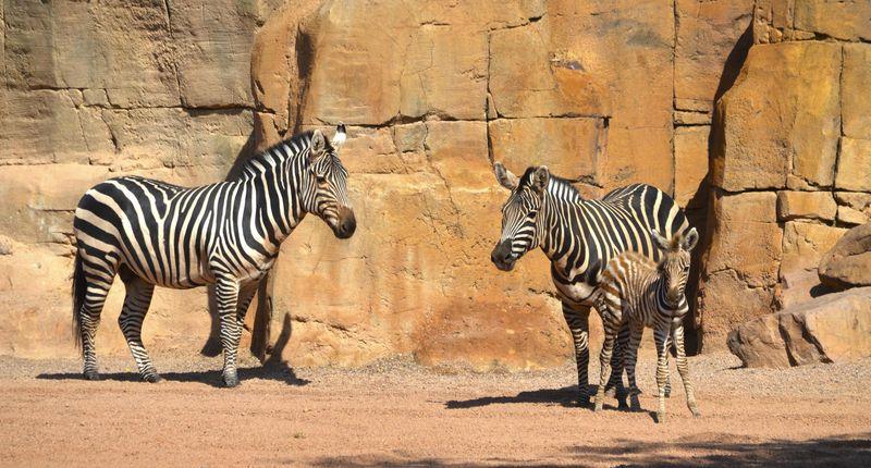 4_Primavera 2016 en BIOPARC - las cebras Bom y Zambé junto a su cría - 7 junio