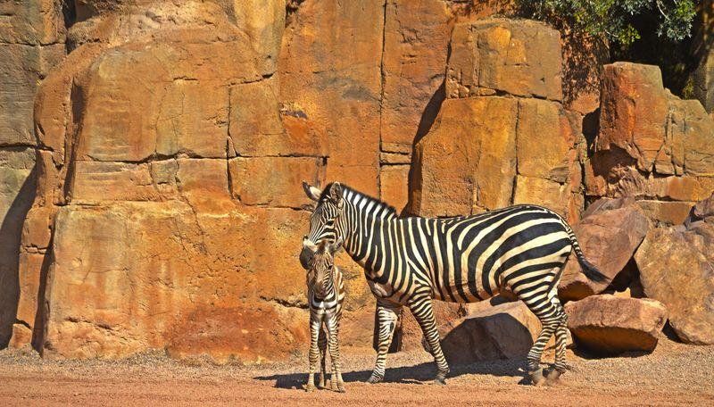 5_Primavera 2016 en BIOPARC - cebra junto a su cría recién nacida (7 junio)