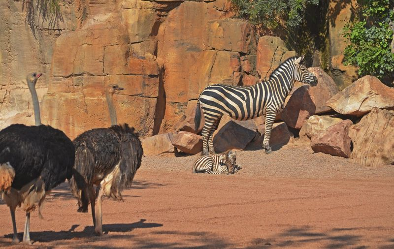 6_Cría de cebra recién nacida en la Sabana de BIOPARC - avestruces