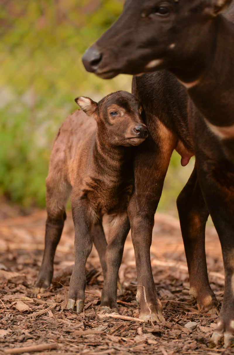 2_A rare anoa calf has been born at Chester Zoo (1)