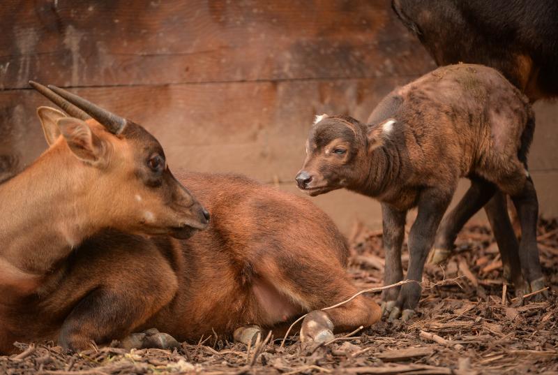 7_A rare anoa calf has been born at Chester Zoo (10)