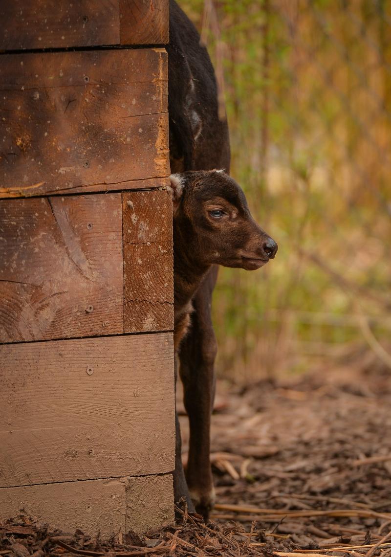 8_A rare anoa calf has been born at Chester Zoo (6)