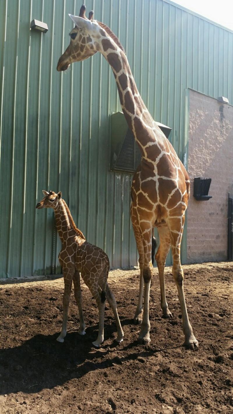 1_LeShea Upchurch - calf and mother