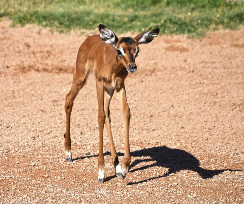BIOPARC Valencia - Cría de impala recién nacida - verano 2016
