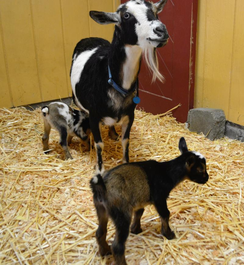 2_Goats 3