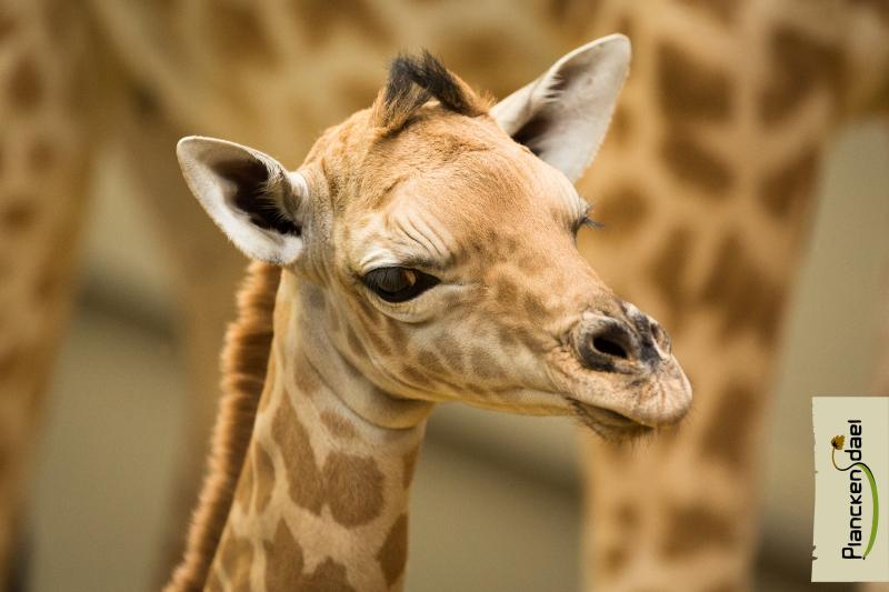 2_fotolink-girafR-1