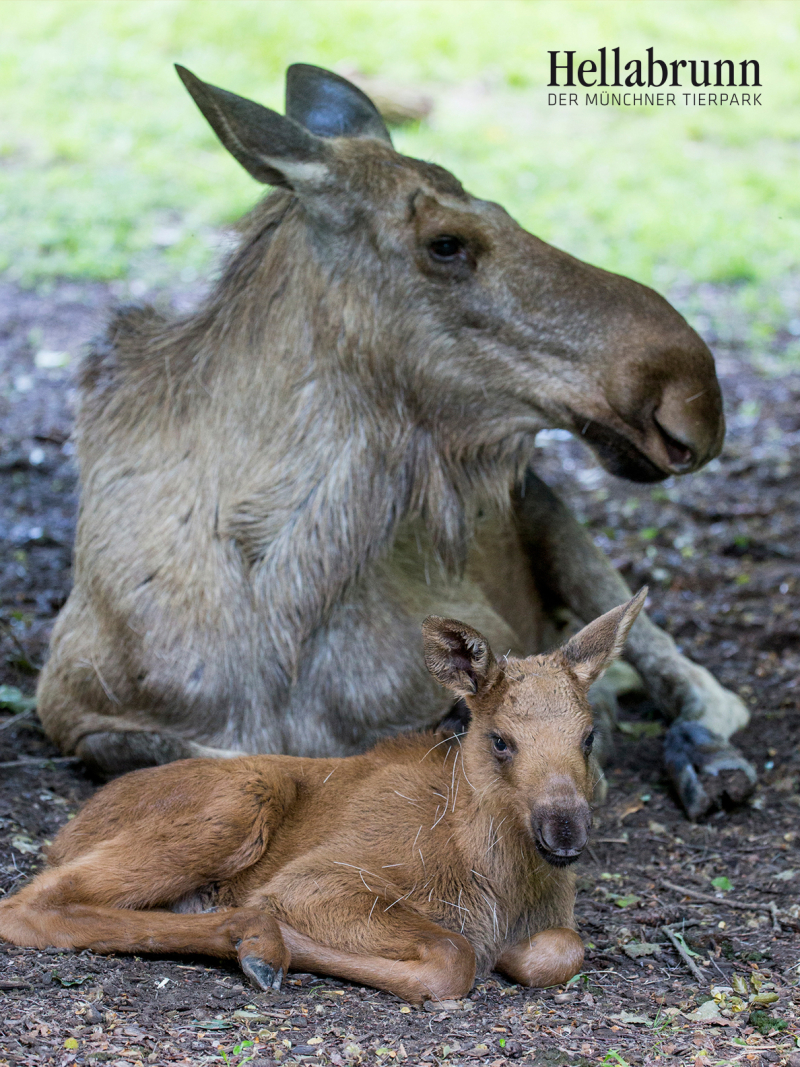 1_Elk_offspring_Hellabrunn_2016_Marc Mueller (2)