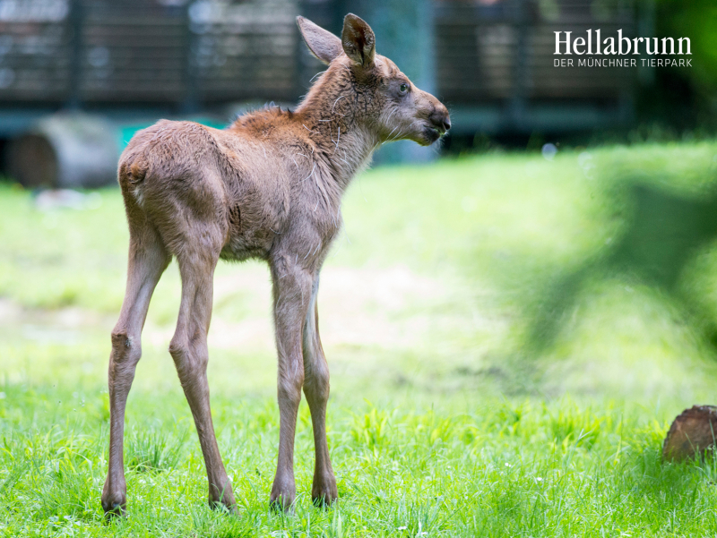 5_Elk_offspring_Hellabrunn_2016_Marc Mueller (5)