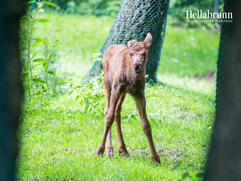 7_Elk_offspring_Hellabrunn_2016_Marc Mueller (7)