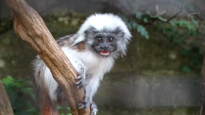 1_Critically Endangered Cotton-top Tamarin baby