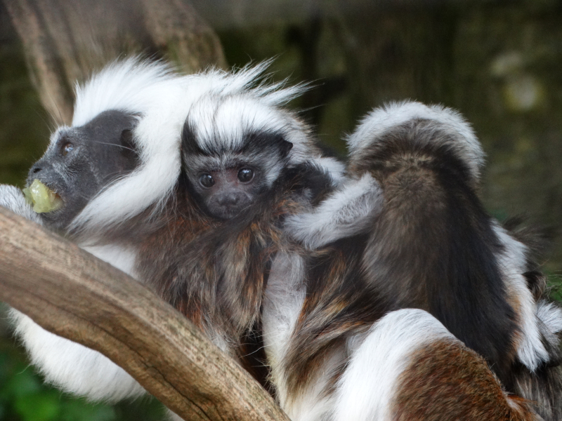 2_Baby Cotton-top Tamarins 2