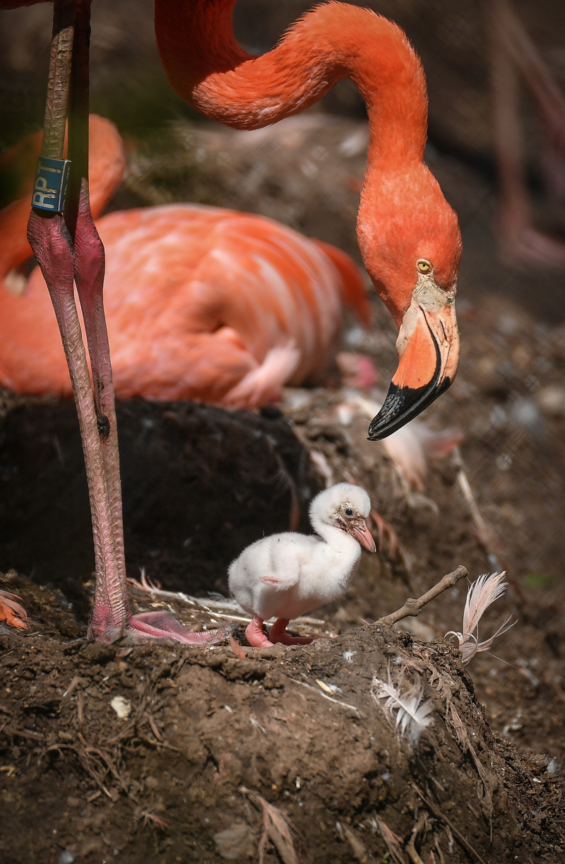 1_Chester Zoo is tickled pink by new flamingo chicks  (3)