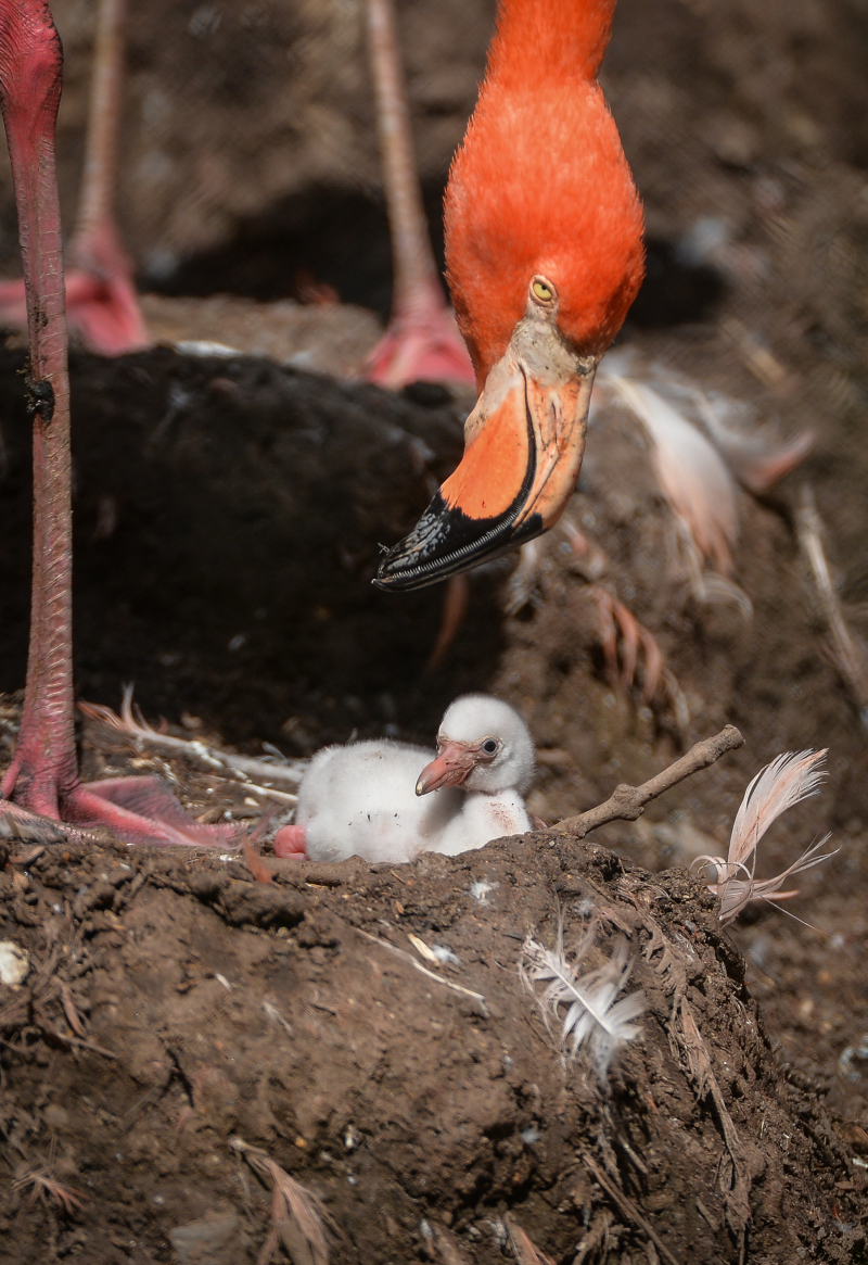 3_Chester Zoo is tickled pink by new flamingo chicks  (7)