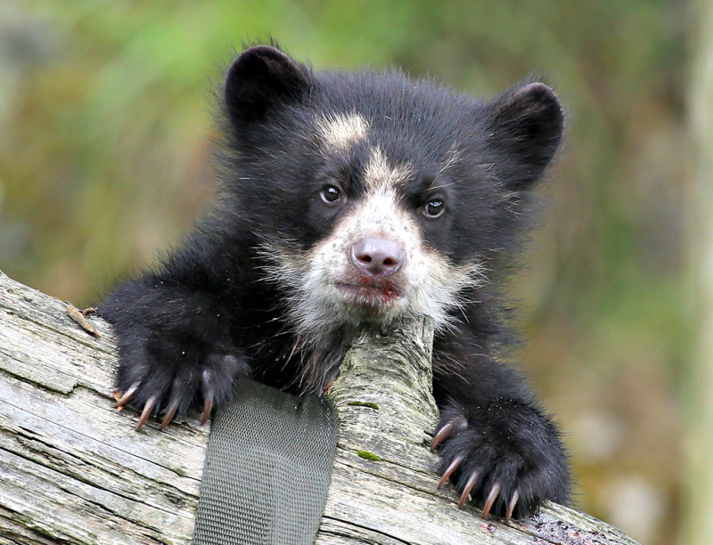 (1)  Belfast Zoo is celebrating the first Andean bear birth, at Cave Hill, in more than 20 years!