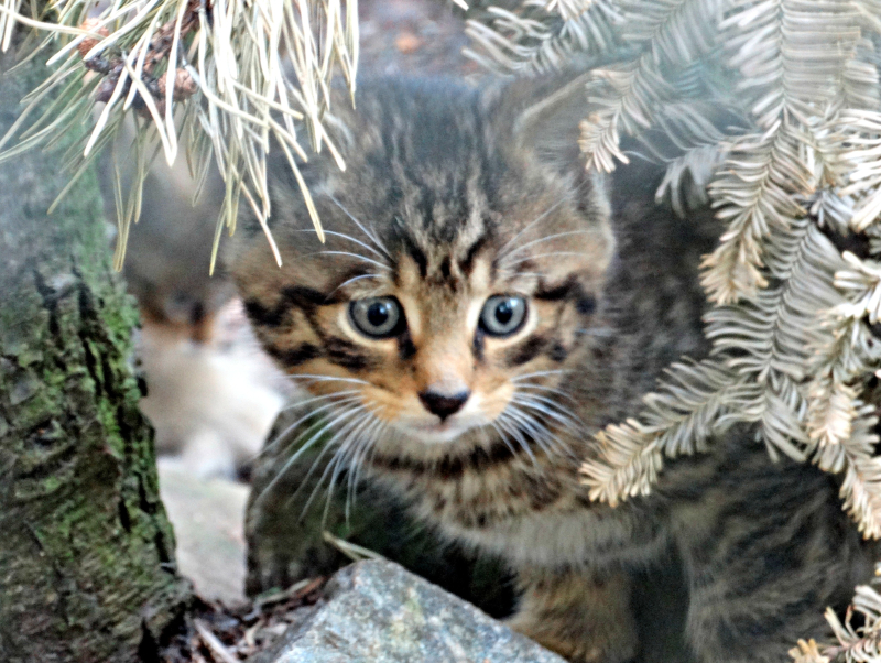 Wildcat kitten_Credit_JanMorse